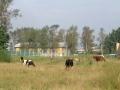 Коровы на фоне теннисных кортов в Красноармейске, 2004 год